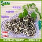 印度进口辣木籽  辣木种植 PKM1 20公斤以上起 一手货源 辣木种子