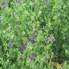 厂家直供 紫花牛羊苜蓿草颗粒 纯植物蛋白新鲜动物园专用饲草颗粒