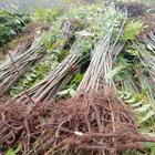 苗圃批发当年可食用香椿树苗 香椿苗红油香椿树苗 可盆栽地栽