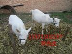 供应陕西奶山羊养殖基地、2013年奶山羊价格、奶山羊种羊多少钱