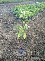 優質綠化小袋苗秋楓