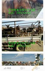 哪里肉牛价格便宜可以查询到肉牛犊价格