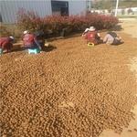 魔芋高產栽培技術 湖南魔芋種植基地在那里 貴州魔芋種子供應商
