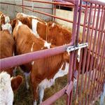 南方黃牛種苗價格養殖銷售價格西門塔爾黃牛種苗價格