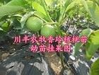 贵州早实核桃苗批发/