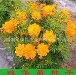 硫華菊種子(矮株) 硫華菊 盆栽花卉 黃秋英 大花硫華菊