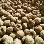 供應  曲靖魔芋種子價格商  新鮮一代二代花魔芋種子 高產脫毒